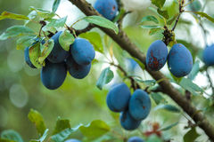 Ripe blue plums in an orchard. Closeup of ripe blue plums on branches in an orchard Royalty Free Stock Images