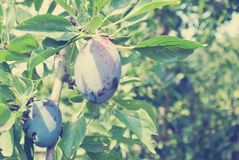 Ripe blue plums in an orchard, rural vintage concept Stock Image
