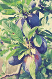 Ripe blue plums in an orchard, rural vintage concept Stock Photo