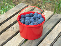 Ripe blue plums in red bucket outdoor Royalty Free Stock Photography