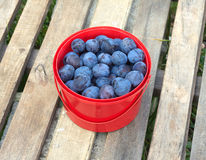 Ripe blue plums in red bucket outdoor Royalty Free Stock Images