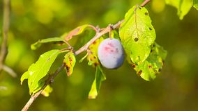Ripe blue plums on the tree in green leaves, the sun, natural foods, gardening agriculture. Ripe blue plums on tree in green leaves, sun, natural foods stock footage