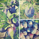 Ripe blue plums on the tree in an orchard; fruit collage; retro Royalty Free Stock Photo