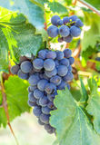 Ripe, blue vine closeup, against the background of the vineyard. Dark grapes with green leaves. Single bunch of dark blue grapes on vineyard background. Ripe stock image