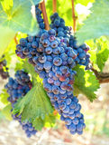 Ripe, blue vine closeup, against background of vineyard. Dark grapes. Single bunch of dark blue grapes on vineyard background. Ripe, juicy vine closeup royalty free stock image