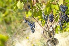 Ripe blue vine wild Stock Image