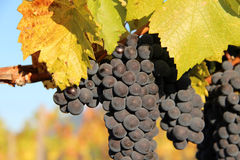 Ripe Blue Wine Grapes. Ripe, blue wine grapes ready for harvest Royalty Free Stock Image
