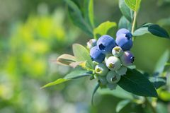 Ripe blueberries on a branch in a blueberries orchard. Stock Photo