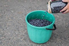 Ripe blueberries in a bucket. Stock Images
