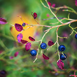 Ripe blueberries on  bush branches Royalty Free Stock Photos