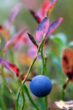 Ripe blueberries on  bush branches Stock Photos