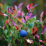 Ripe blueberries on  bush branches Royalty Free Stock Photography