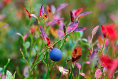 Ripe blueberries on  bush branches Stock Photography