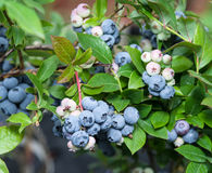 Ripe blueberries on the bush. Royalty Free Stock Images