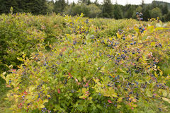 Ripe blueberry bush Stock Image