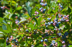 Ripe blueberry on the bush Royalty Free Stock Photography