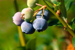 Ripe blueberry cluster Royalty Free Stock Images