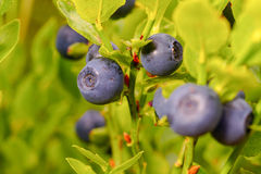 Ripe blueberry. In the garden Stock Photo