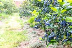 Free Ripe Blueberry On The Plantation Stock Photos - 152613773