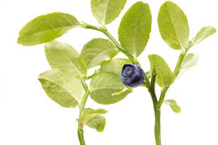 Ripe Blueberry on twig on white background Royalty Free Stock Image
