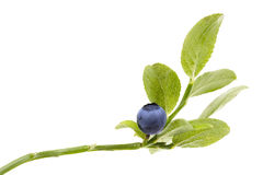 Ripe Blueberry on twig on white background Stock Photo