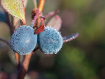 Ripe bog whortleberry. Bush of ripe bog whortleberry close up Royalty Free Stock Image