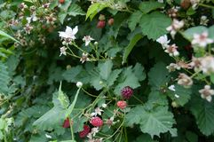 Ripe boysenberry berries on a brunch in a garden. Growing organic food nature background royalty free stock photos