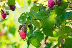 Ripe branch of raspberry on bush in the garden.  Stock Image