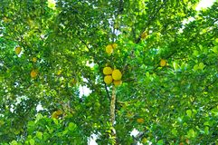 Ripe breadfruit Artocarpus altilis on a tree. Breadfruit Artocarpus altilis tree with ripe fruits Stock Photography