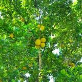 Ripe breadfruit Artocarpus altilis on a tree. Breadfruit Artocarpus altilis tree with ripe fruits royalty free stock photo