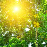 Ripe breadfruit Artocarpus altilis on a tree. Breadfruit Artocarpus altilis tree with ripe fruits. The rays of the bright sun shine through the leaves Royalty Free Stock Photos