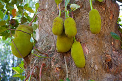 Ripe breadfruits. (Artocarpus altilis) on a tree in Sri Lanka Royalty Free Stock Photo