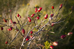Ripe Briar fruit, wild rose hip shrub in nature. Royalty Free Stock Photography