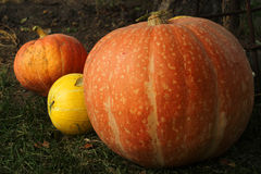 Ripe bright pumpkin lie on the green grass after harvest Royalty Free Stock Photography