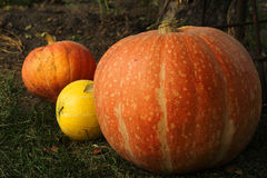 Ripe bright pumpkin lie on the green grass after harvest Royalty Free Stock Photo
