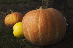 Ripe bright pumpkin lie on the ground after harvest. Stock Photos