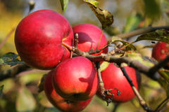 Ripe bright red apples on a branch.  Stock Images