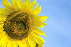 Ripe bright sunflower Stock Photos