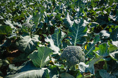 Ripe broccoli plants in a large field. Mature Broccoli or Brassica oleracea plant in the field ready for harvesting. Broccoli is high in vitamin C and dietary Stock Image