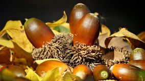 Acorns. Ripe brown oak acorns lying on the leaves on autumn day Stock Image