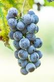 Ripe brush dark grapes Royalty Free Stock Image