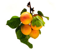 Ripe bunch of apricots on branch with leaves, isolated on white. Ripe bunch of apricots on branch with leaves, isolated on white Royalty Free Stock Photos