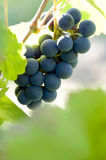 Ripe bunch of blue grapes Royalty Free Stock Image