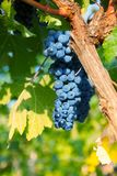 Ripe bunch of grapes Royalty Free Stock Photo