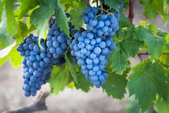 Harvest coming soon in the vineyard. Stock Image