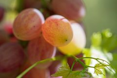 Ripe bunch of grapes in the garden stock image