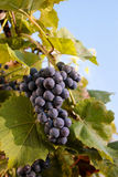 Ripe bunch of grapes. Royalty Free Stock Photo