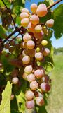 Ripe bunch of round light purple pink grapes closeup. Fresh green grapevines with juicy grape berries and lush foliage in sunlights. Harvest time at vineyard royalty free stock image