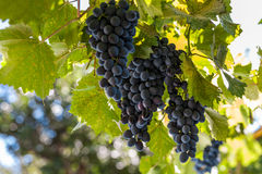 Ripe bunches of dark grapes. On the vine Stock Photos