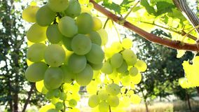 Ripe bunches of green grapes. The rays of the summer sun shine through the foliage leaf. Nature in a golden hour